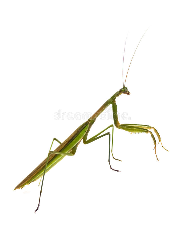 Mantis Praying masculino imagem de stock royalty free