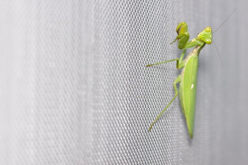 Mantis Praying na terra da tela de fio do mosquito imagem de stock