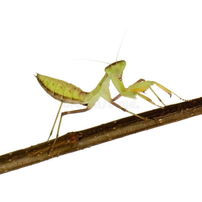 Mantis praying novo - lineola de Sphodromantis fotografia de stock