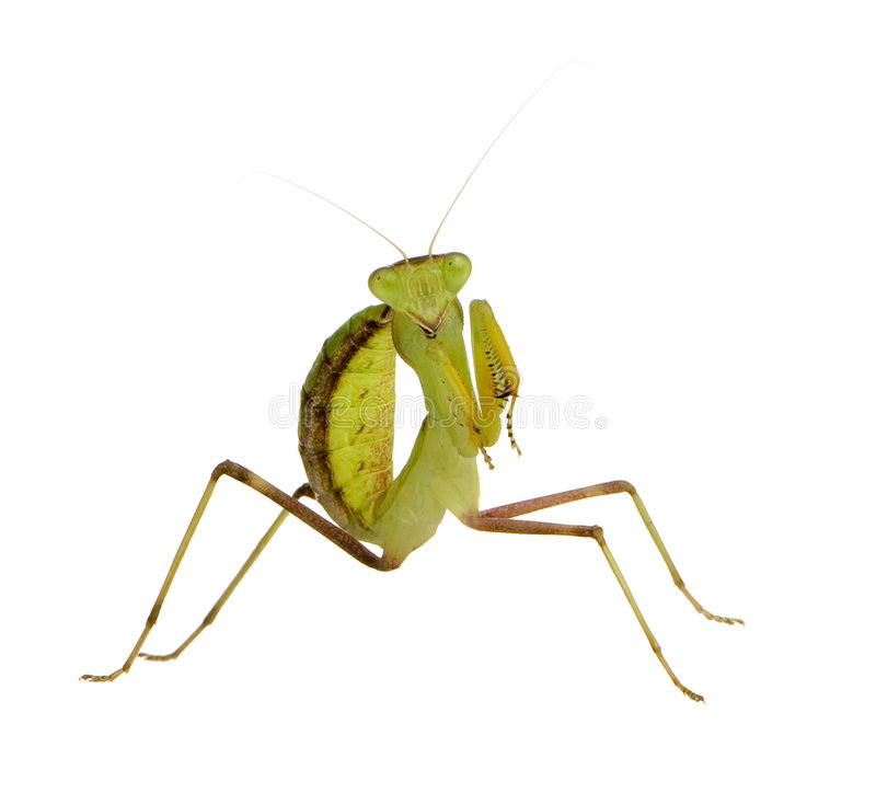 Mantis praying novo - lineola de Sphodromantis fotos de stock