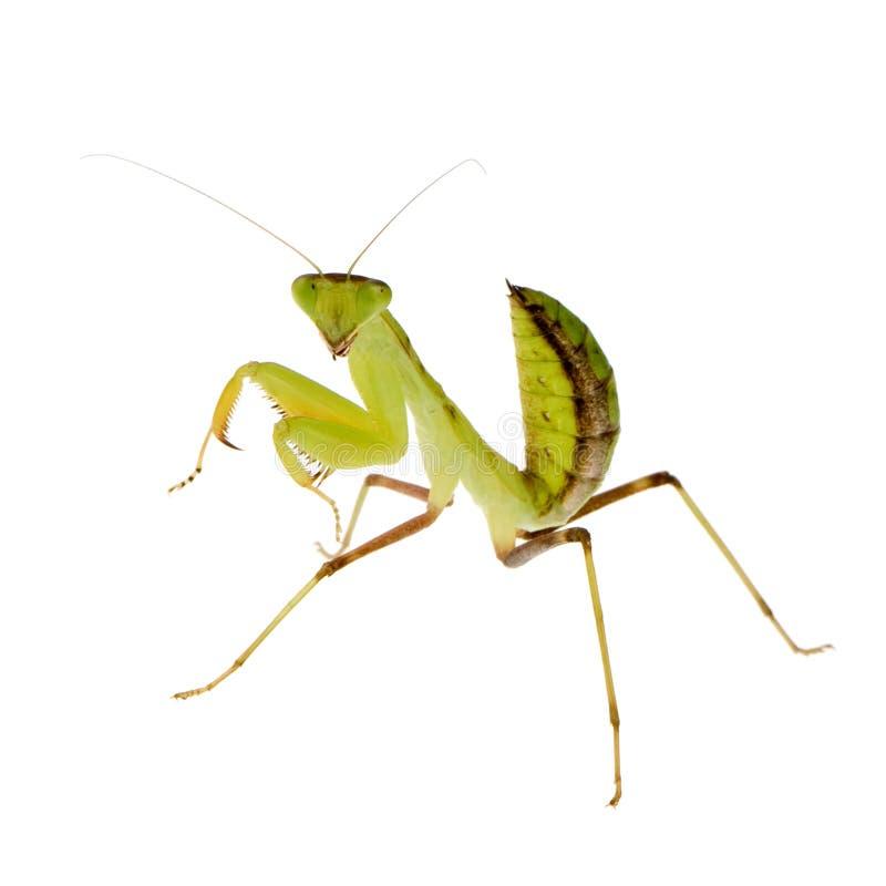 Mantis praying novo - lineola de Sphodromantis foto de stock royalty free