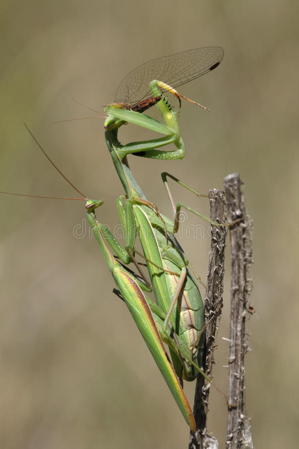 Mantis Praying que come e acoplamento imagem de stock