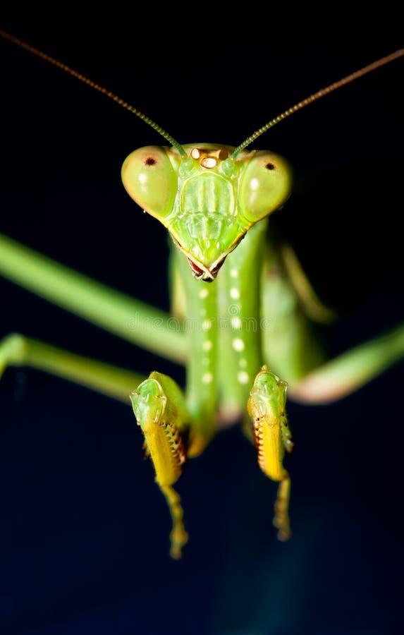 Mantis praying verde imagem de stock royalty free
