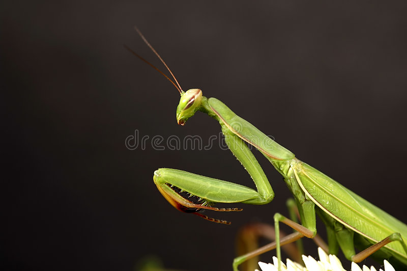 Mantis predante fotografia stock libera da diritti