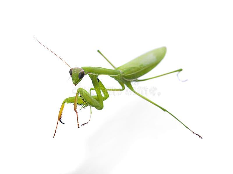 Mantis priant, sur fond blanc focalisation sélective photos stock