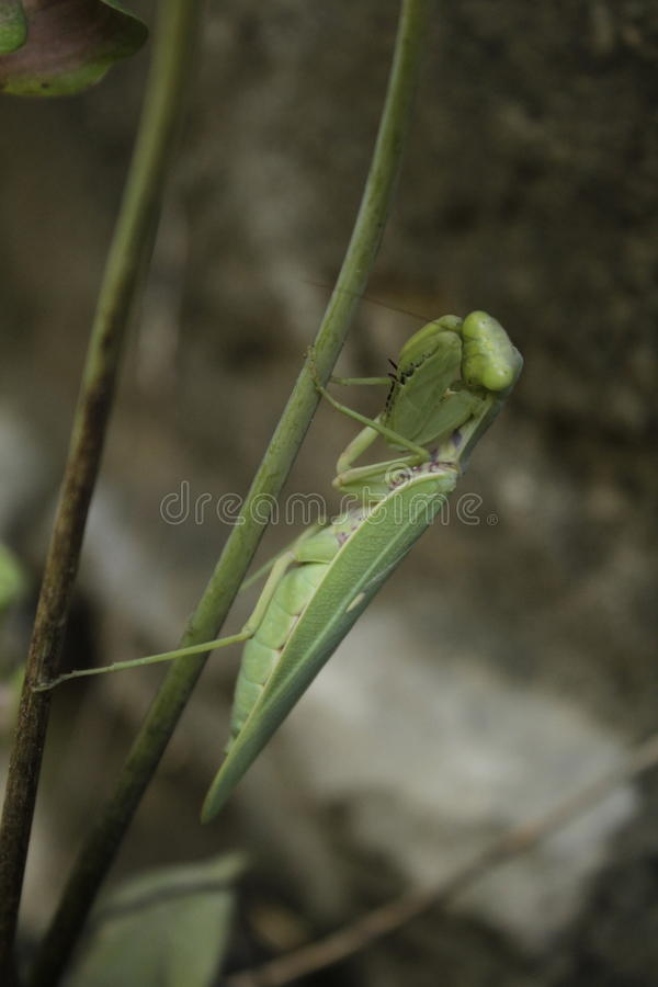 Mantis ready to attack stock images