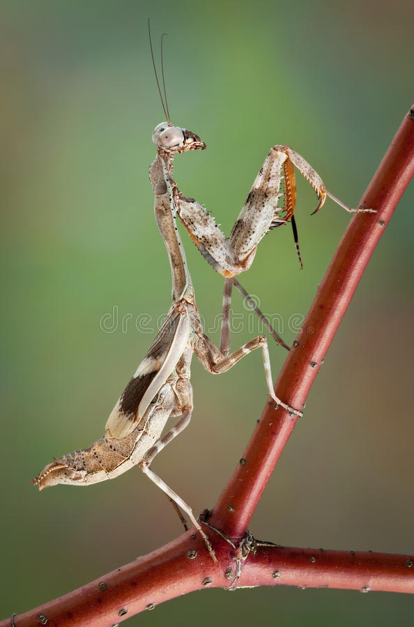 Mantis On Red Branch Stock Images