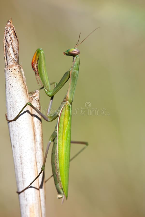 Download Mantis religiosa stock photo. Image of shock, wildlife - 11750702