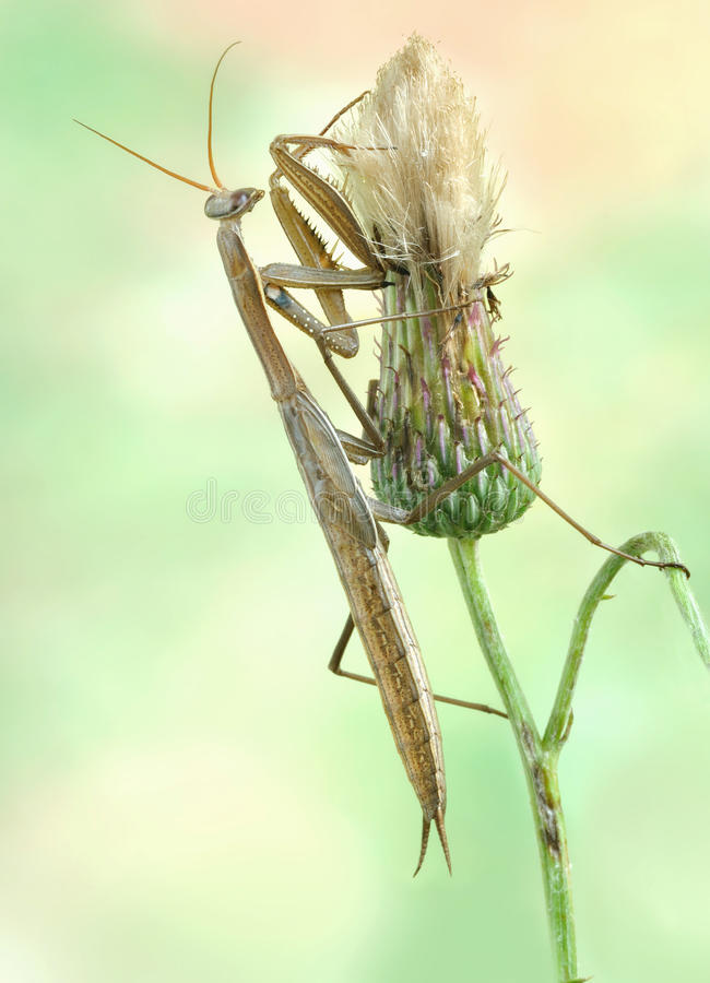 Download Mantis Religiosa Royalty Free Stock Images - Image: 18145559