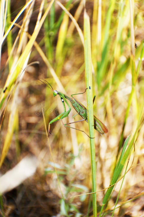 Download Mantis religiosa stock photo. Image of animals, entomology - 21836432