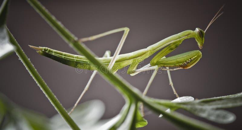 Mantis Religiosa стоковое изображение