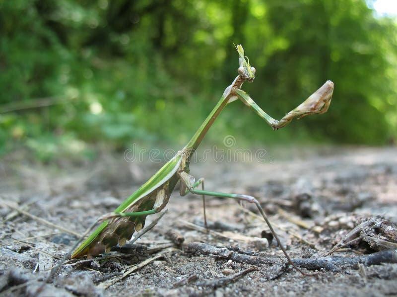 Mantis Religiosa imagem de stock
