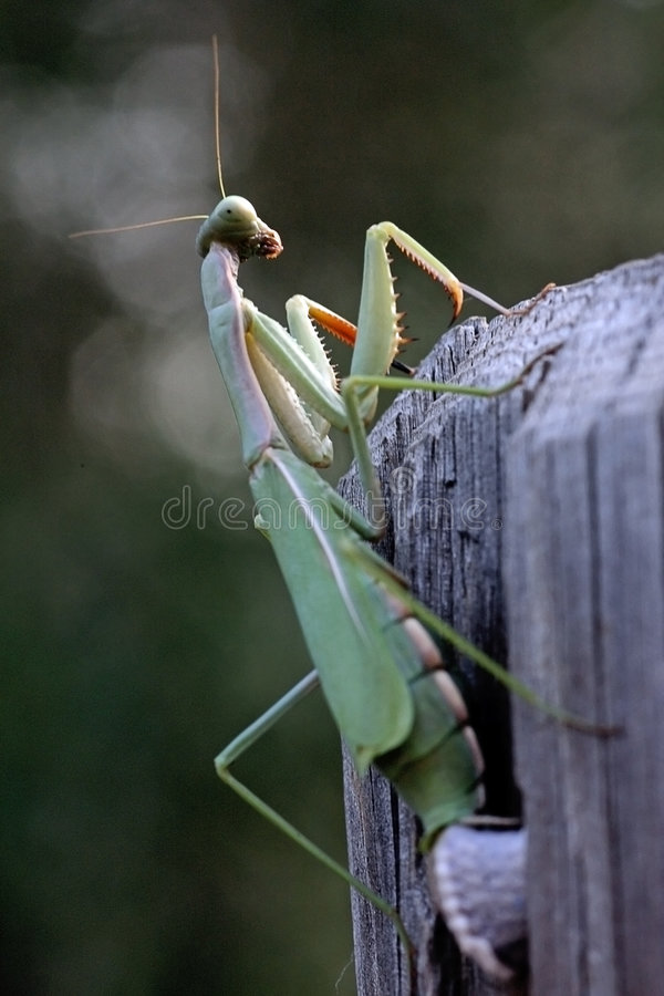 Mantis Religiosa royalty free stock photography