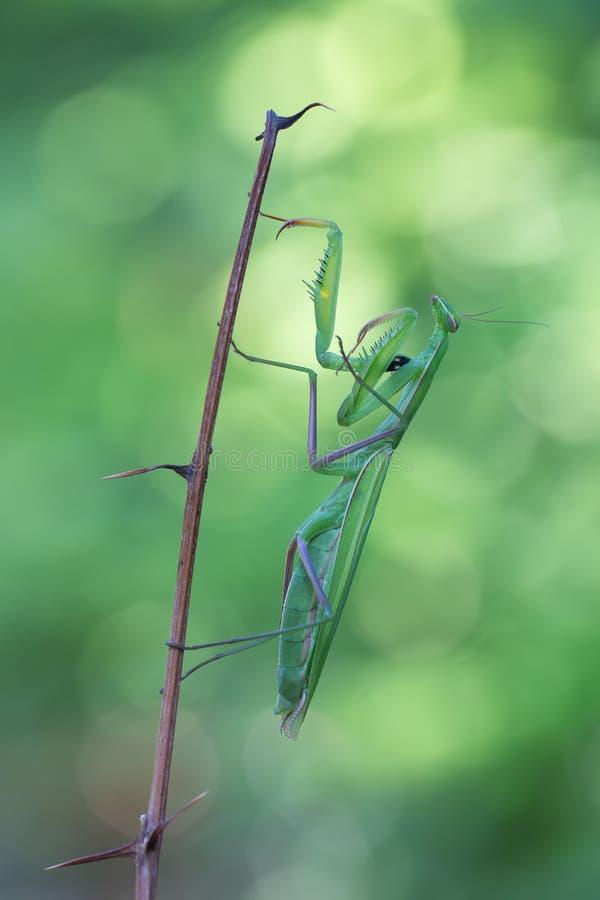 Mantis Religiosa стоковые фото