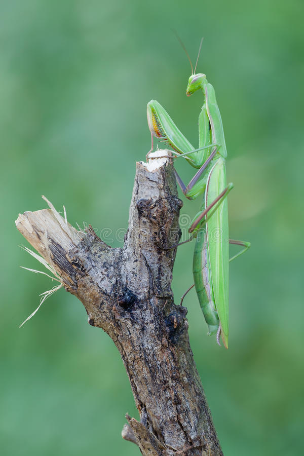 Mantis Religiosa стоковые изображения