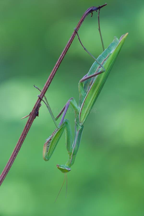 Mantis Religiosa стоковые изображения rf