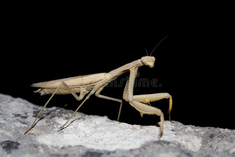 Mantis religiosa stockfotografie