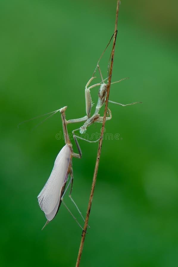 Mantis religiosa après la mue photographie stock libre de droits