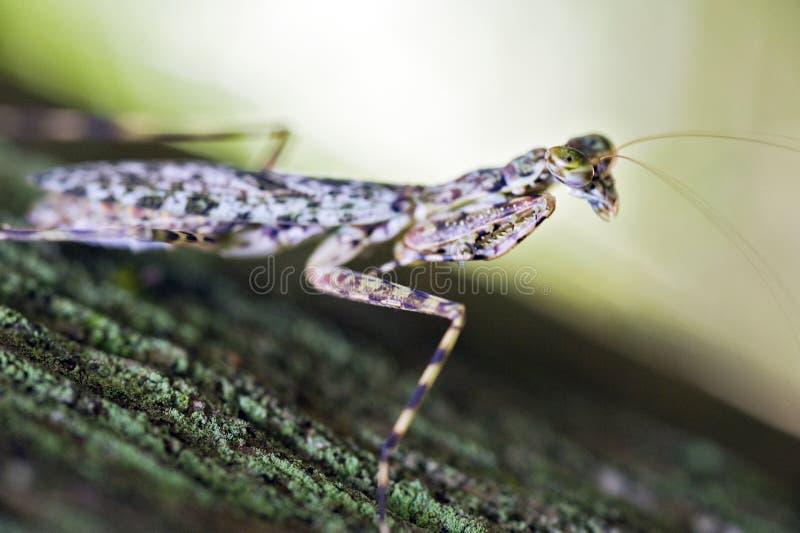 Mantis religiosa en contraste con el fondo oscuro del bosque fotos de archivo