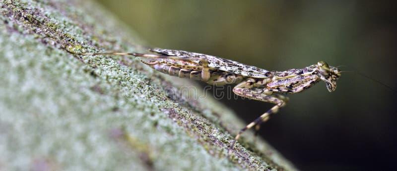 Mantis religiosa en contraste con el fondo oscuro del bosque imagen de archivo libre de regalías