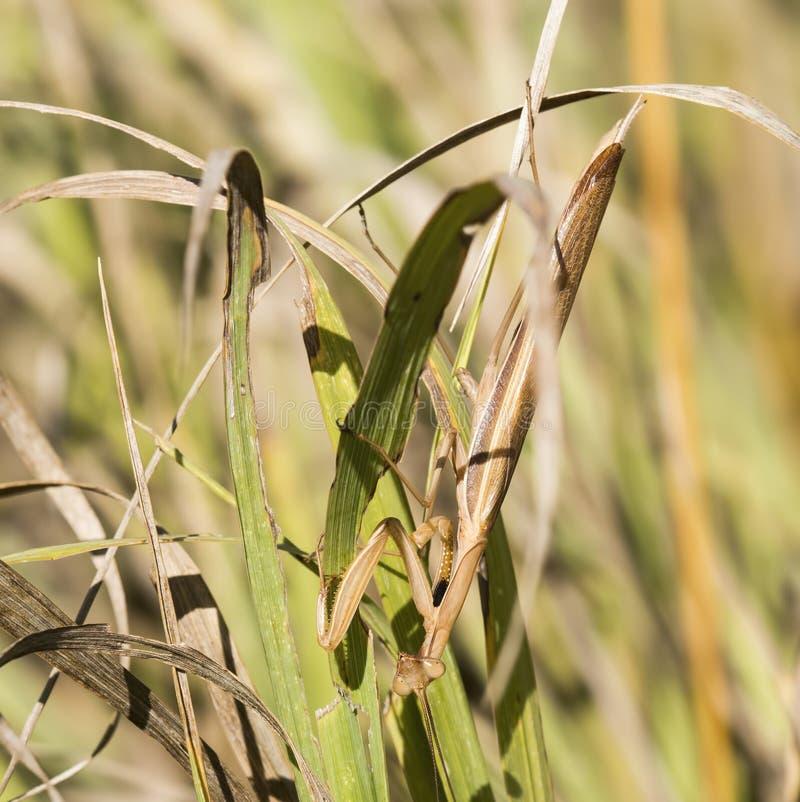 Mantis religiosa en hierba fotografía de archivo