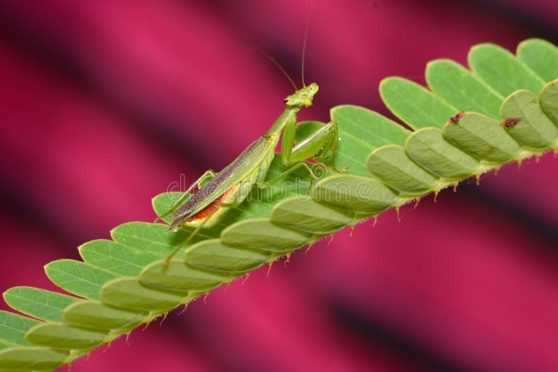 Mantis religiosa en la flor, Mantodea, Rayagada, Odisha, la India fotografía de archivo libre de regalías