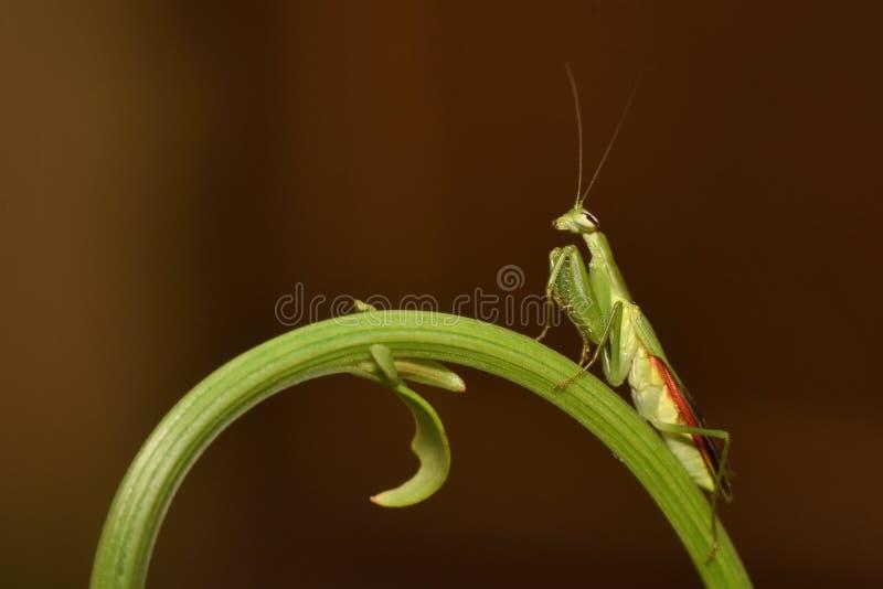 Mantis religiosa en una hoja del helecho, Mantodea, Rayagada, Odisha, la India fotos de archivo libres de regalías