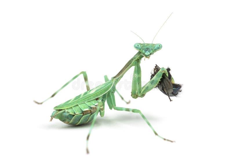 Mantis religiosa que come una mosca aislada en blanco foto de archivo libre de regalías