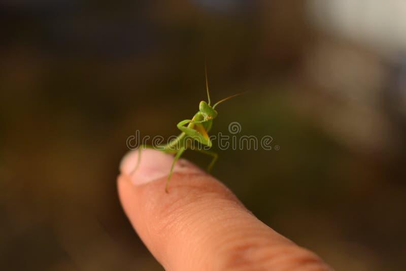 Mantis religiosa que se sienta en un finger foto de archivo libre de regalías