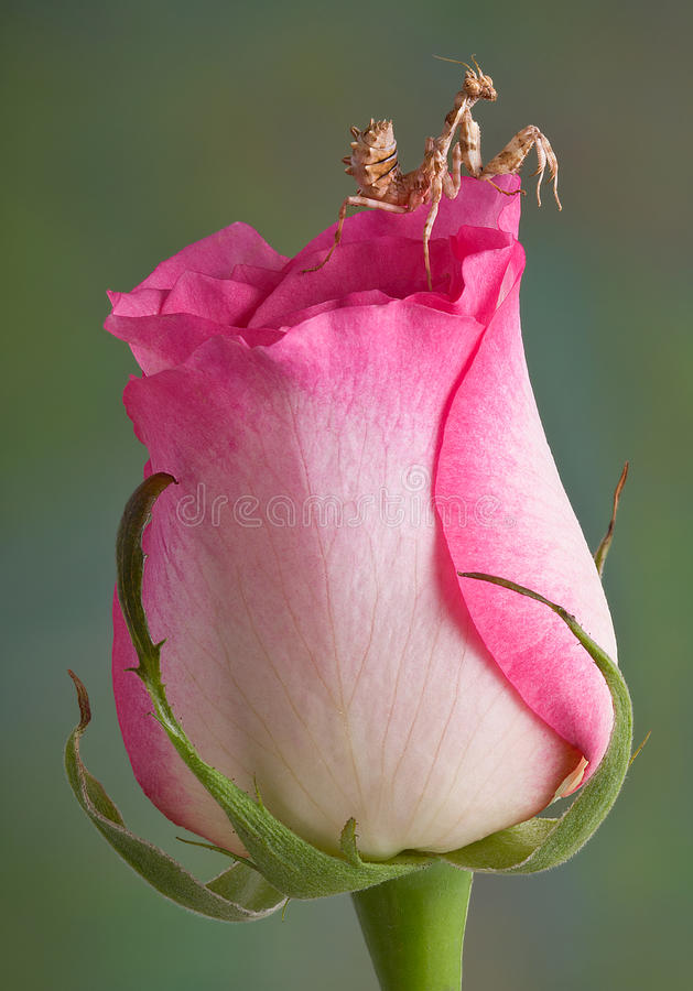 Mantis on rose. A mantis nymph is sitting on top of a rose bud stock images