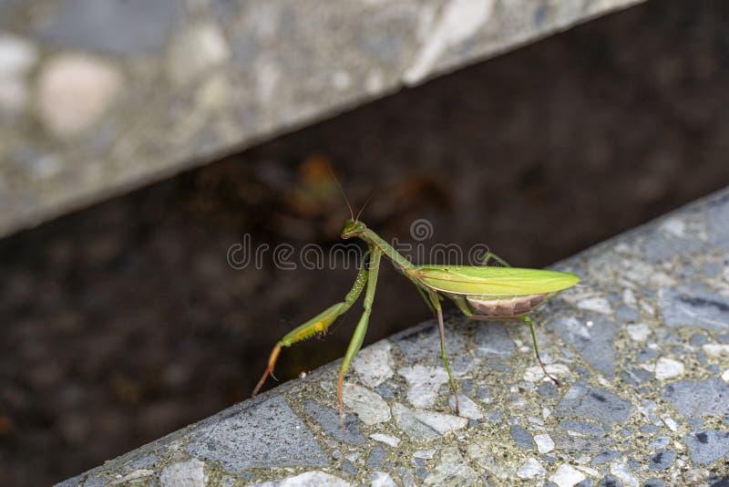 Mantis s'assoit sur un escalier et s'enfuit photo libre de droits