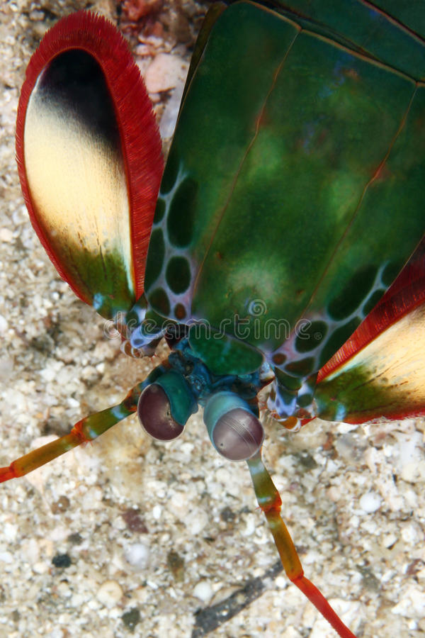 Mantis shrimp stock images