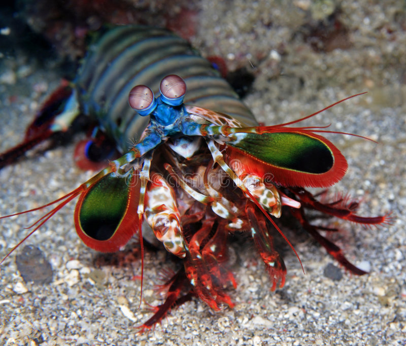 Mantis Shrimp. (Odontodactylus scyllarus) coming and defending their hole