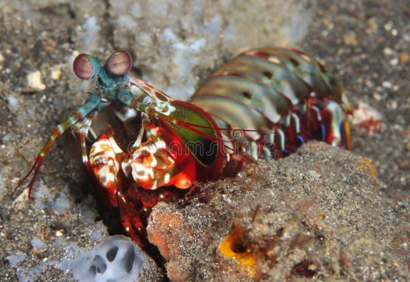 Mantis Shrimp royalty free stock photo