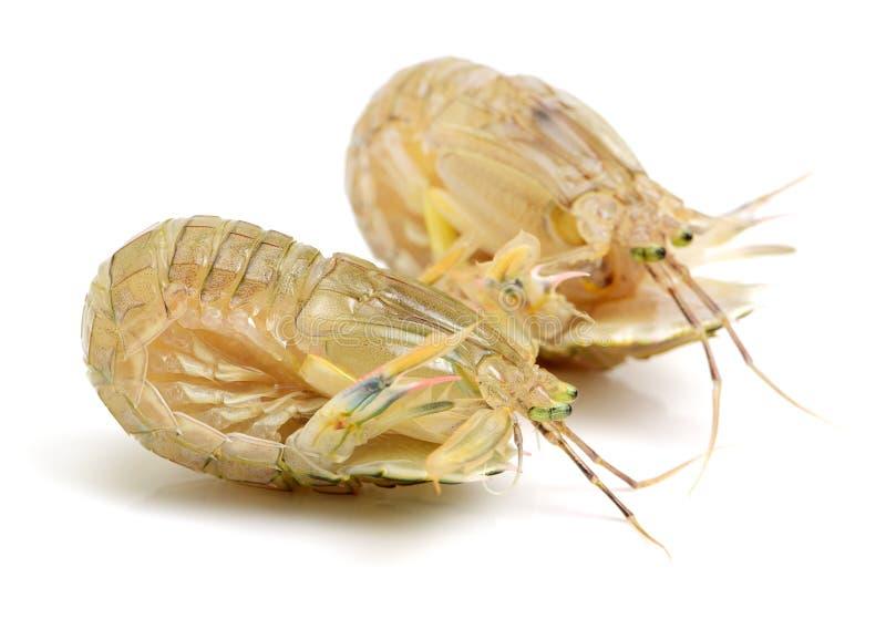 Mantis Shrimp stock photo