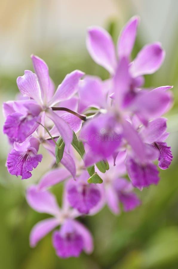 Mantis sob a orquídea roxa imagens de stock royalty free