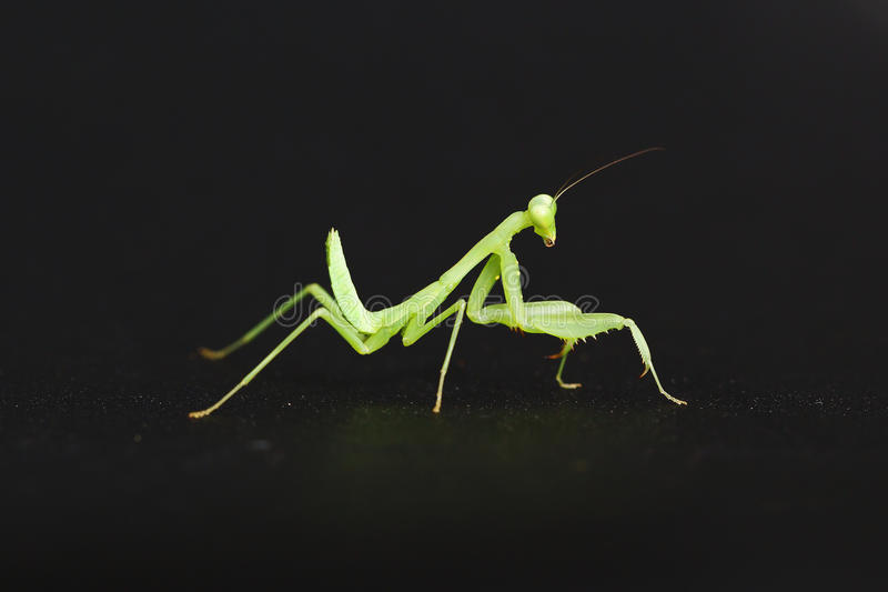Mantis stock photography