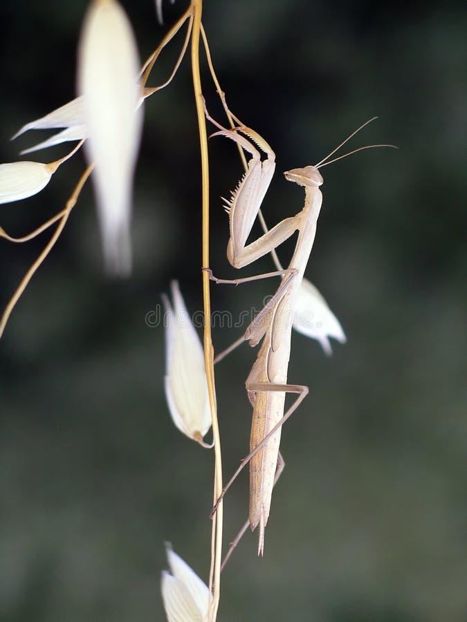 Mantis sur l'avoine sèche images stock