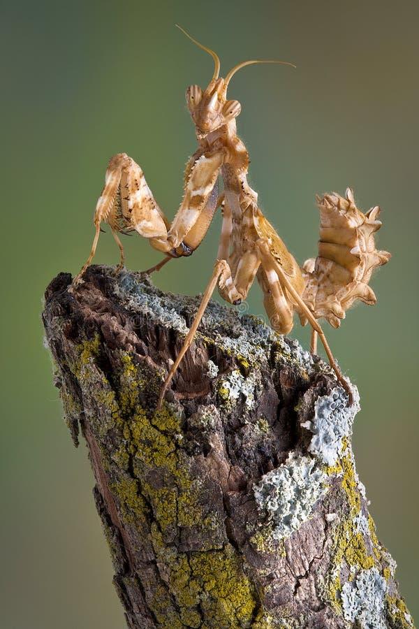 Mantis sur le branchement photographie stock