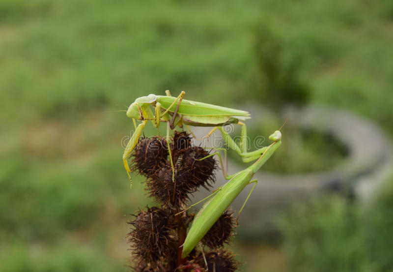 Download Mantis On The Tong. Mating Mantises. Mantis Insect Predator. Stock Photo - Image: 80446348