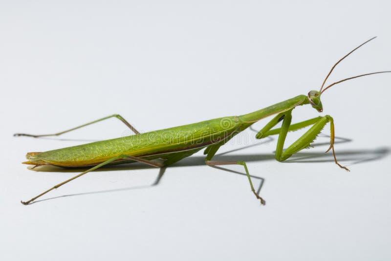 Mantis vert images libres de droits