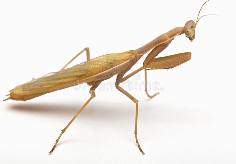 Download Mantis on white background stock photo. Image of nature - 26580154