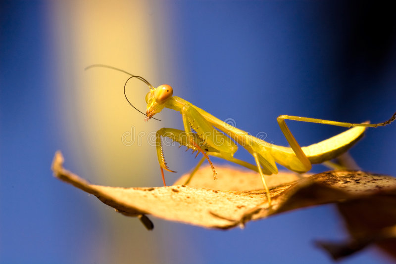 Mantis in winter. A mantis standing on a leaf on a cool winter day royalty free stock images