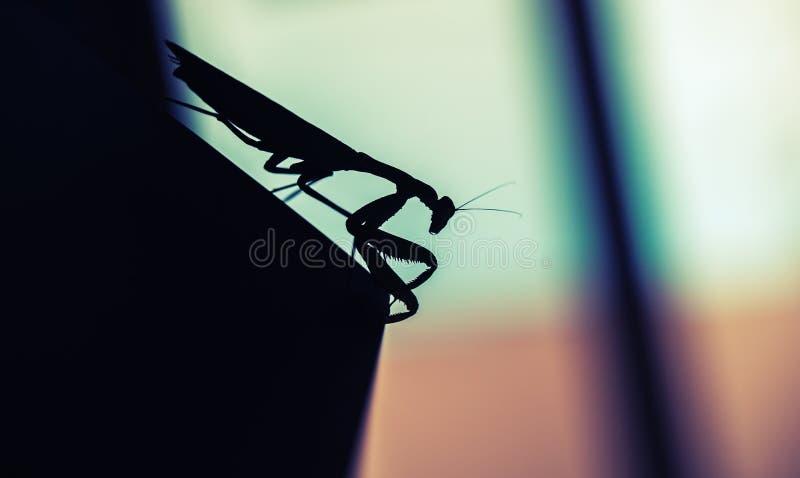 mantis Zwart insectsilhouet, macro stock afbeelding