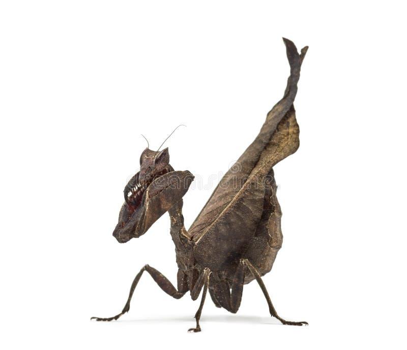 Mantises inoperantes da folha - Sp de Acanthops - fotos de stock royalty free