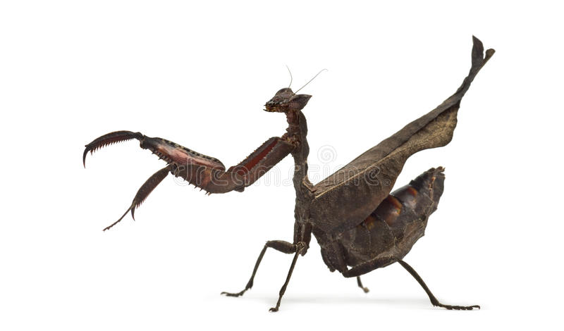 Mantises inoperantes da folha - Sp de Acanthops - foto de stock royalty free
