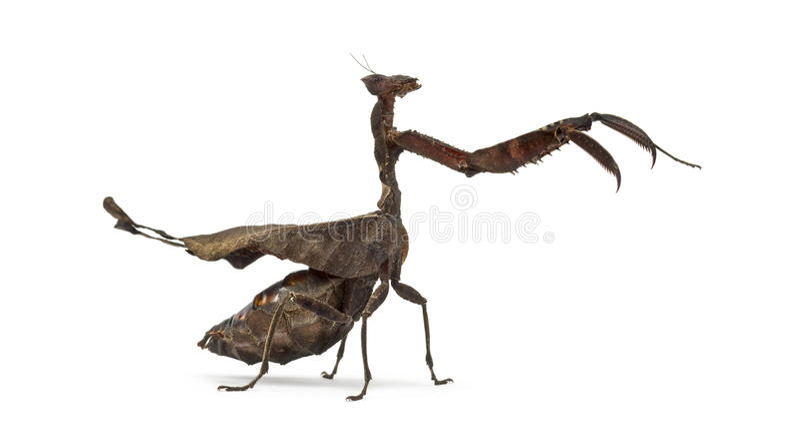 Mantises inoperantes da folha - Sp de Acanthops - fotografia de stock