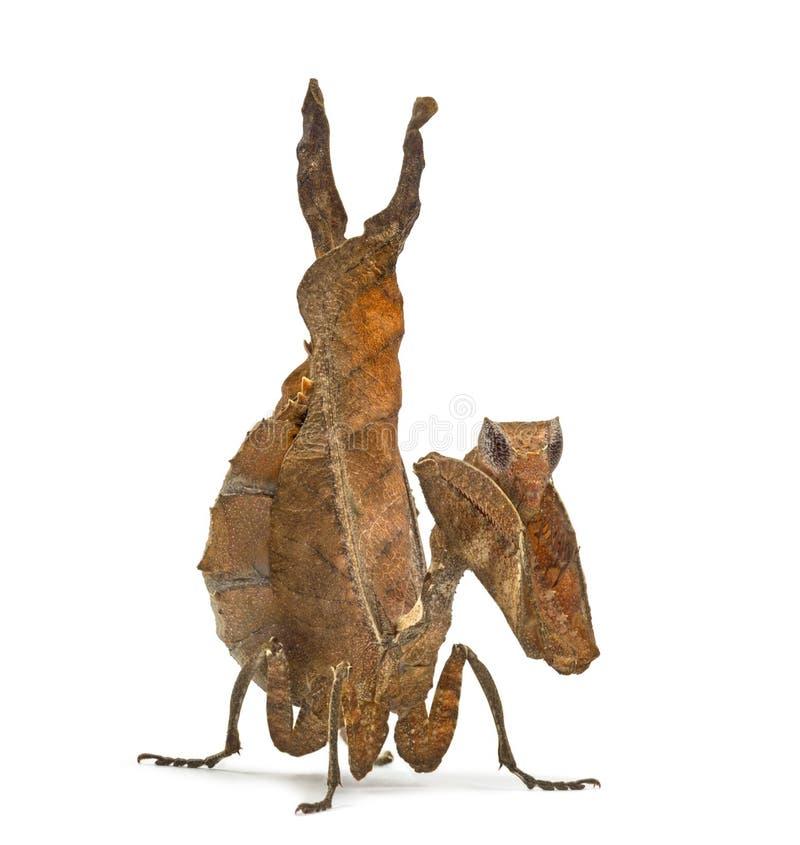 Mantises inoperantes da folha - Sp de Acanthops - imagens de stock