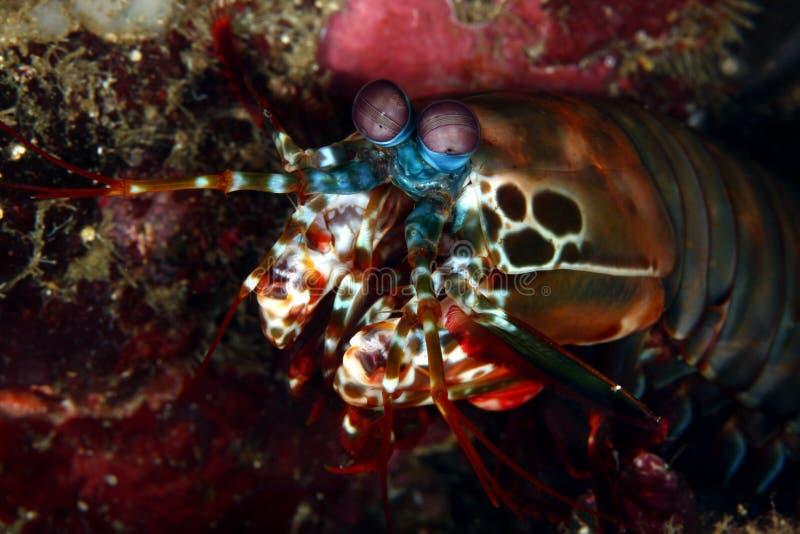 Mantisgarnele stockfoto
