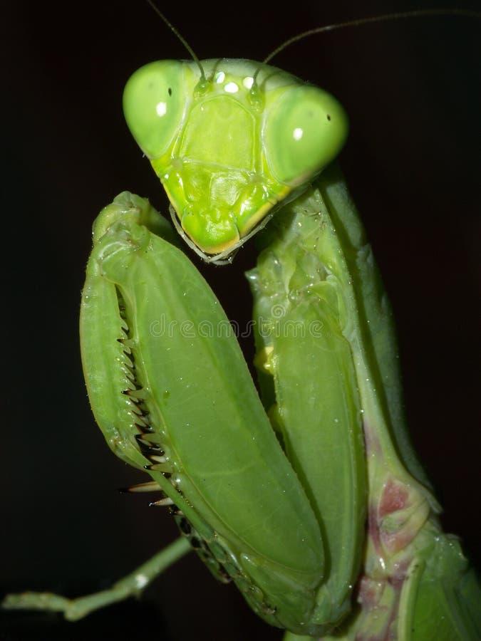 Mantisoberseite stockbild